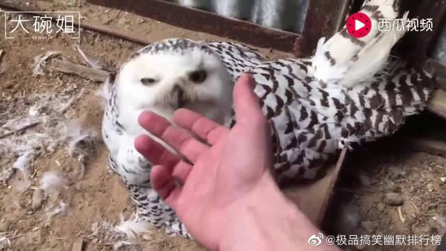 猫头鹰下了六个鸟蛋,主人想摸摸,它大怒:摸坏了你赔的起吗