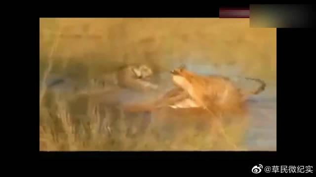 为什么说老虎是动物世界最强?看完这个视频你就懂了