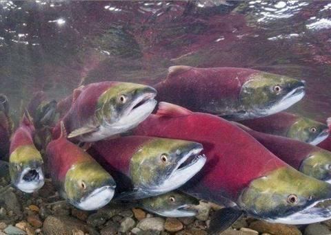 黑熊妈妈带小熊捕鱼,却只对母鲑鱼下手,吃完鱼卵后把鱼肉扔一边