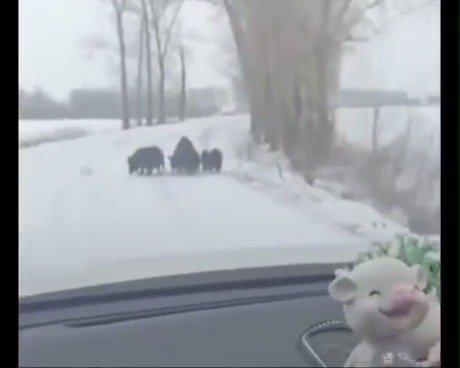 11月25日,榆树泗河镇桦树存老贾大沟附近惊现十余头野猪