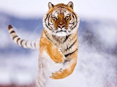 谁说生肖虎只有劳碌命,以下几个月出生的属虎人,晚年从不愁钱!