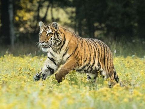 俗话说:家有生肖虎,虎虎又生威,12月生肖虎将迎来人生最大财!
