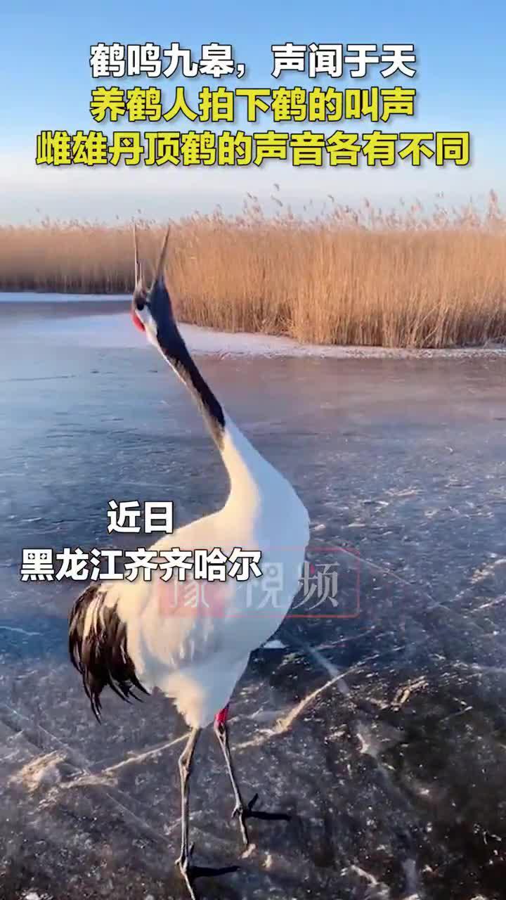 黑龙江齐齐哈尔市自然保护区,养鹤人拍下鹤的叫声!……