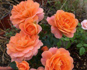 阳台盆栽月季选它,香味浓郁,开花勤快,抗病性强!