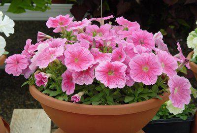 春天养花选它,一年能开300朵,阳台变花园,几块钱就能买一盆