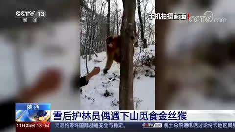 雪后护林员偶遇下山觅食金丝猴 萌态大方与人互动