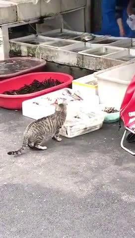 早起的猫咪偷鱼吃