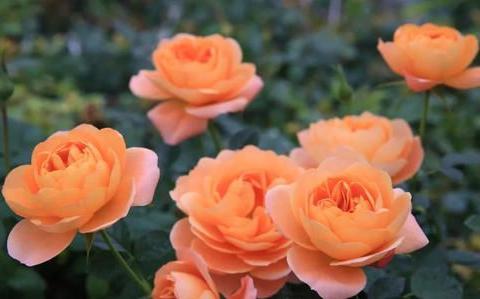 推荐3种微型月季,开花多抗病性强,新手也会养,是盆栽佳品!