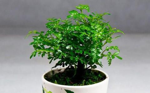 1种可以驱蚊的植物,比绿萝还好养,耐寒又耐热,养一盆飘香满屋