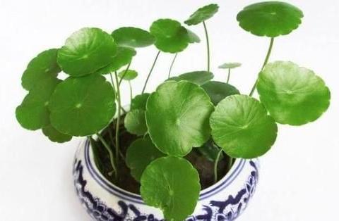 家里养铜钱草,学会这4个小妙招,长得圆滚滚,肥绿不黄叶!