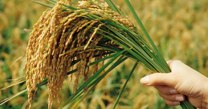 中国杂交水稻技术获重大突破,对全球有何影响力