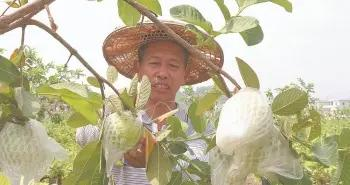 漳浦顶坛村:畲乡芭乐甜蜜蜜