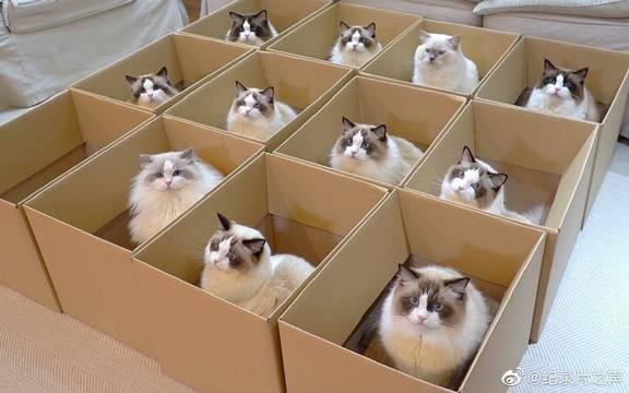 """布偶天堂!为11只布偶猫准备的""""豪华纸盒套装"""""""