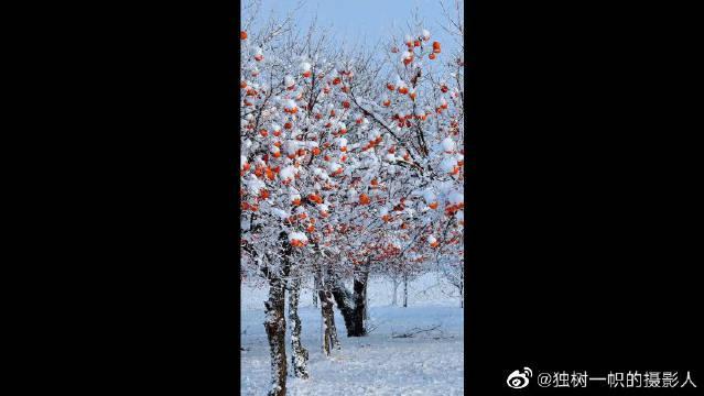 """""""秋去冬来万物休,唯有柿树挂灯笼"""""""