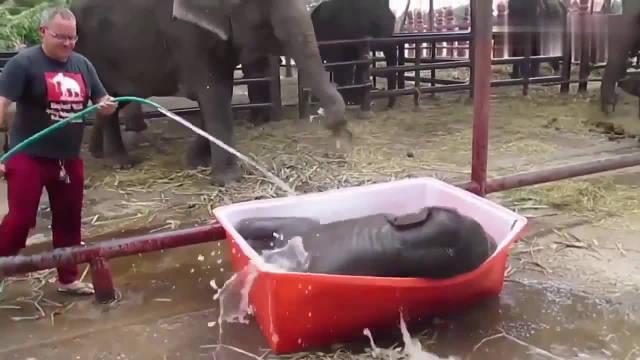 小象宝宝真调皮,洗澡盆太高走不进去直接躺下去,还好桶是软的