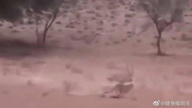 猎豹攻击黑斑羚的幼崽,没想到黑斑羚攻击力太强,猎豹服输了