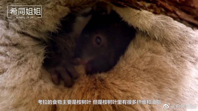小考拉的婴儿食品是妈妈的粪便?这是为了消化,原谅我没见过世面
