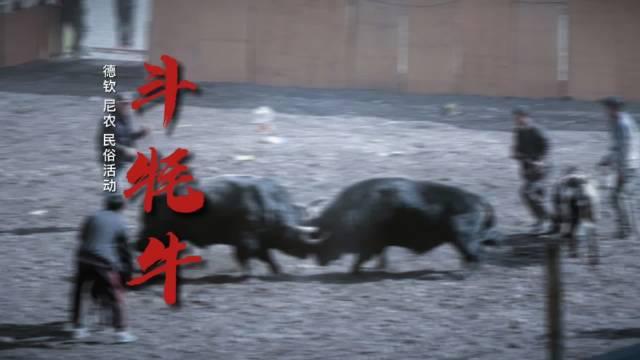 香格里拉特色藏族民俗活动,斗牦牛!……