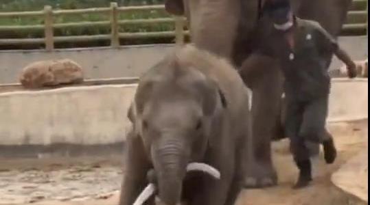 大象院里调皮的小象偷偷拿了饲养员的一个皮管玩……