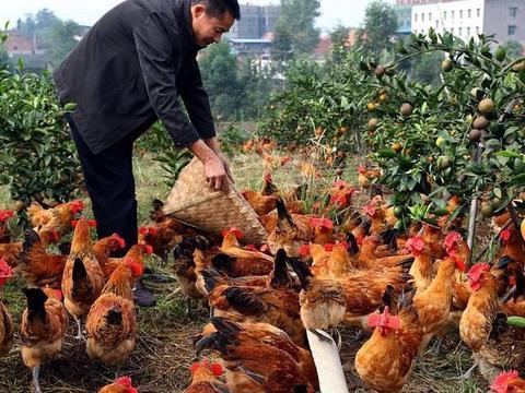 家禽养殖业今年持续亏损!