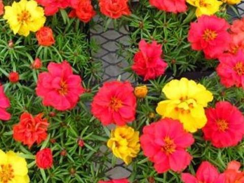 3月播种太阳花,注意几个细节,出苗率高,植株长势旺盛
