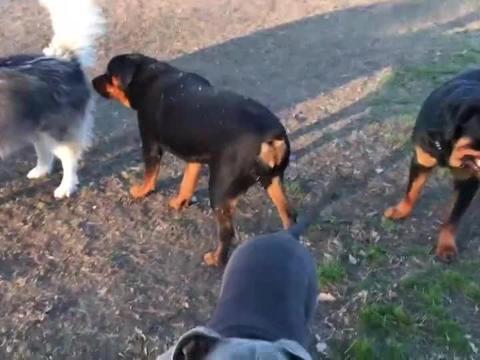 公园来了两只罗威狗狗,想要试探斗牛犬!熟料斗牛犬也不是吃素的