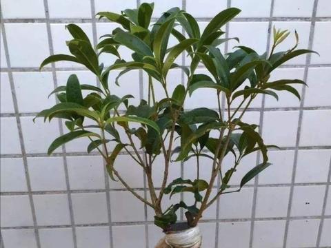 桂花开始萌芽,这几个养护要点不能疏忽,植株才能长势