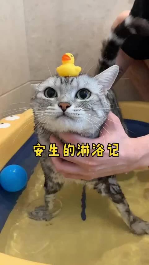猫咪骂骂咧咧的洗澡又来了!来到新家第一次洗澡,太难了