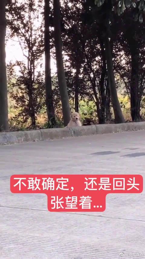 主人把小金毛放在街上假装离开,小狗的反应让他差点泪奔