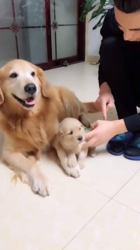 狗也学会护犊子了,就训了小金毛几句,大金毛竟然抱着不撒手了