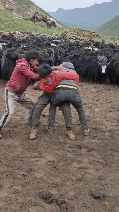 两小伙牦牛群里摔跤,争执不下,看最后谁是赢家