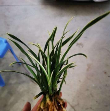 买到裸根带花的兰花苗,1步操作要做好,否则延缓生长,难养好!
