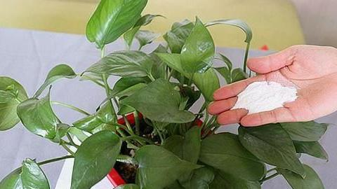 家家都有的调味料,用来养花,杀菌消毒不长虫,花期延长好几倍