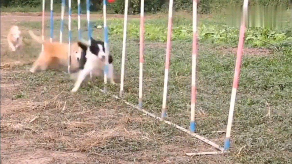 边牧:后面的狗子看好了,我只教一次
