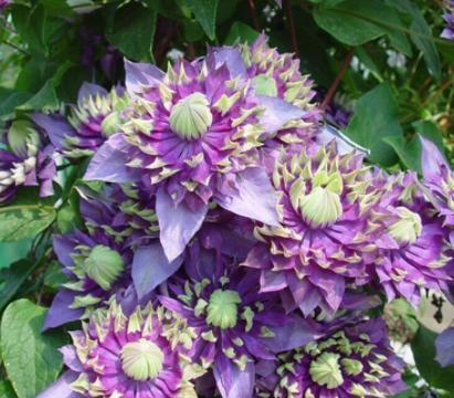 网购花苗不对版,几十棵开花都一个颜色,因为你没有学会这4点!