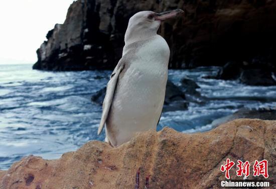 厄瓜多尔发现罕见白色加岛环企鹅