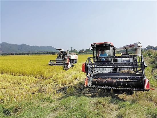 江门今年水稻总产量将超90万吨