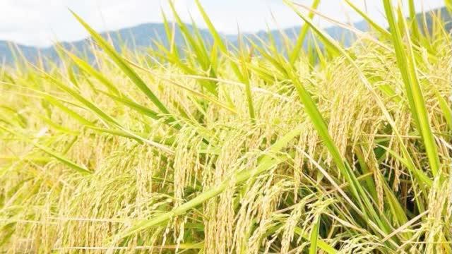 杂交水稻是如何让我们都吃饱饭的?