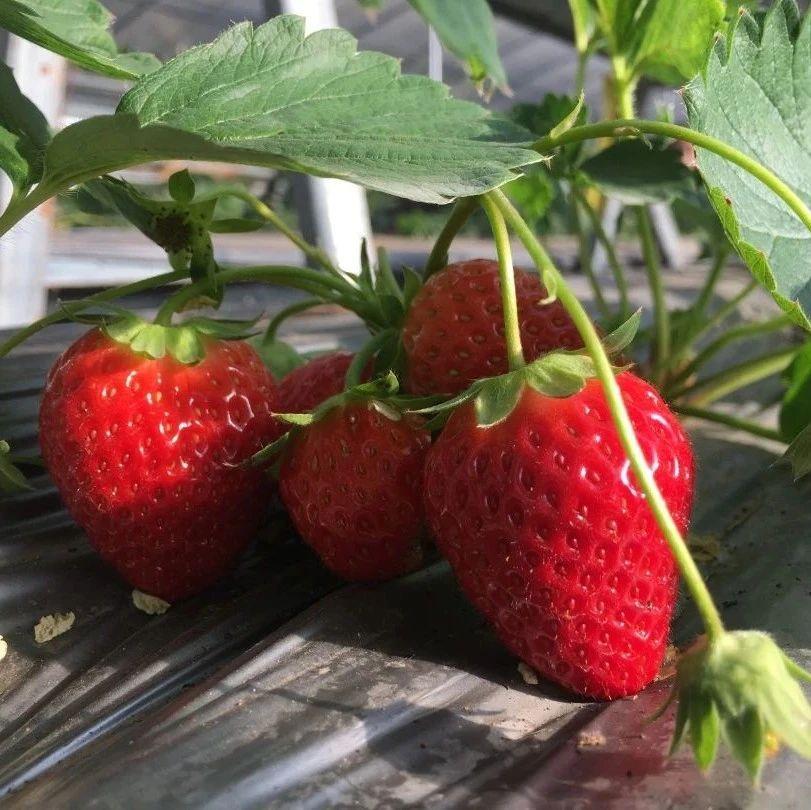 周末到,草莓熟,昆明西山的草莓可以采摘了……