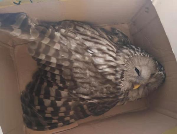 吉林天桥岭森林公安局 救助一国家二级保护动物长尾林鸮