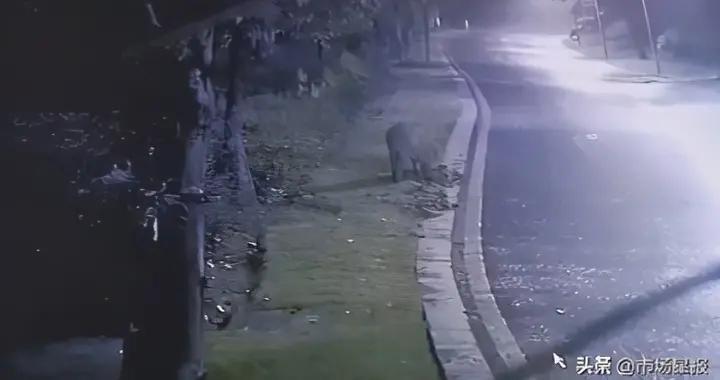 芜湖神山公园惊现成群野猪 公园提醒不要去园区山林