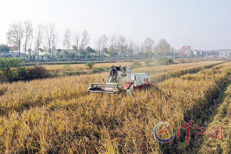 首批大面积试种的深水稻喜获丰收