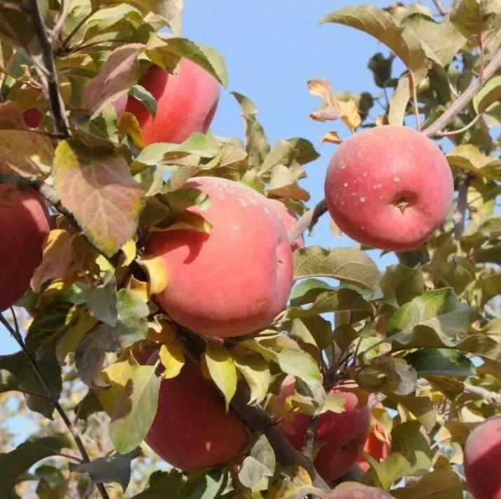 今年首批25吨阿克苏苹果出口泰国