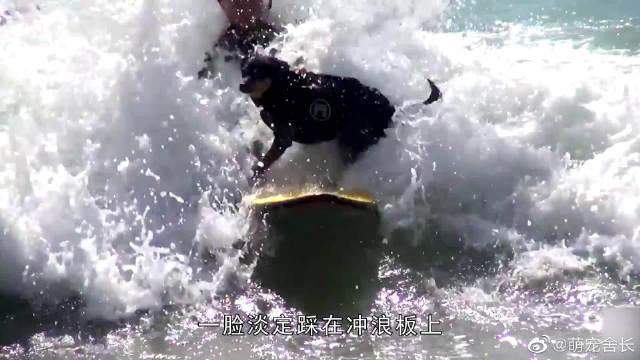 人们躺在沙滩上休息,狗狗却在旁边大玩冲浪:做人好难啊