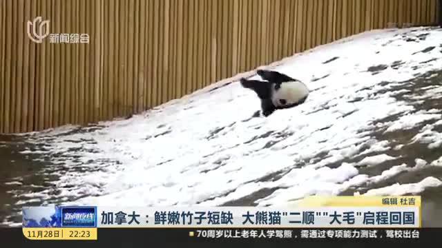"""加拿大:鲜嫩竹子短缺  大熊猫""""二顺""""""""大毛""""启程回国"""