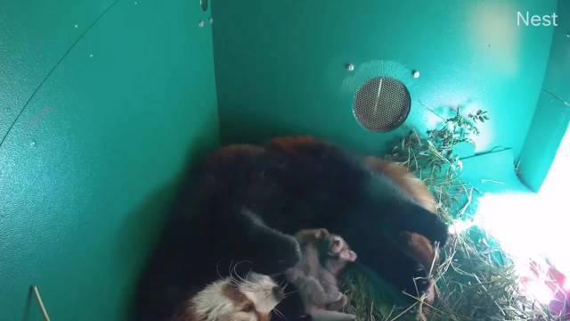 俄勒冈动物园的一只小熊猫妈妈前段时间生下一只小宝宝……