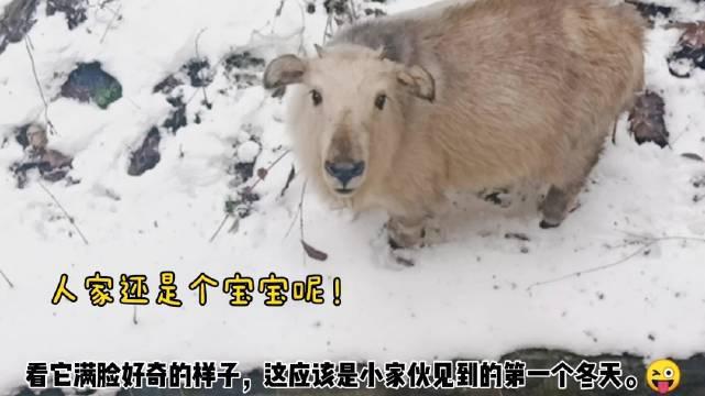 羚牛宝宝现身太白山景区 工作人员:小家伙可能首次见到冬天