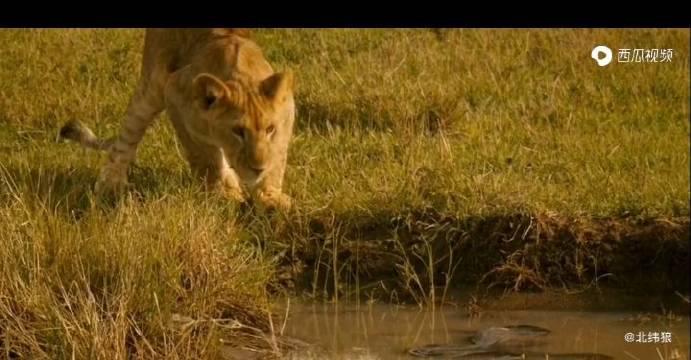 小狮子在塘边喝水,险些成为巨蟒的美餐