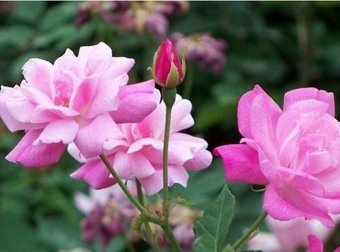 家家都有的2种钾肥,不花一分钱,花盆里掺一点,养根开花旺!