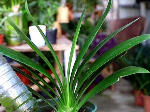 """养君子兰,盆土里加""""3种料"""",植株长得旺盛,叶片浓绿有光泽"""